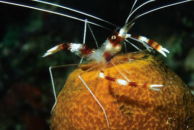 A Banded Coral Shrimp perches atop a yellow tube sponge in the British Virgin Islands.