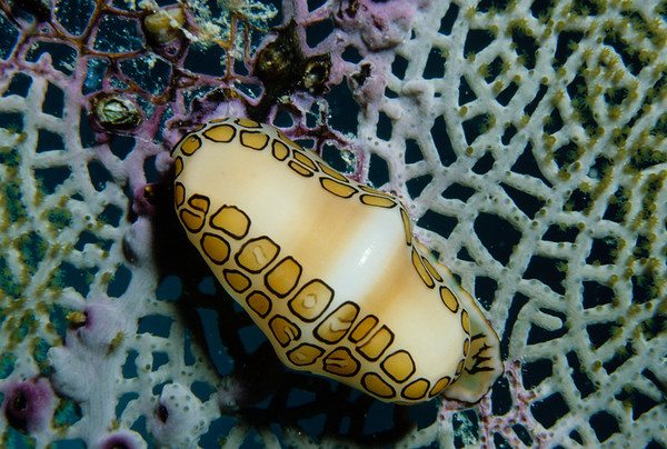 A Flamingo Tongue Cowrie leaves a path of digested sea fan polyps in its wake.