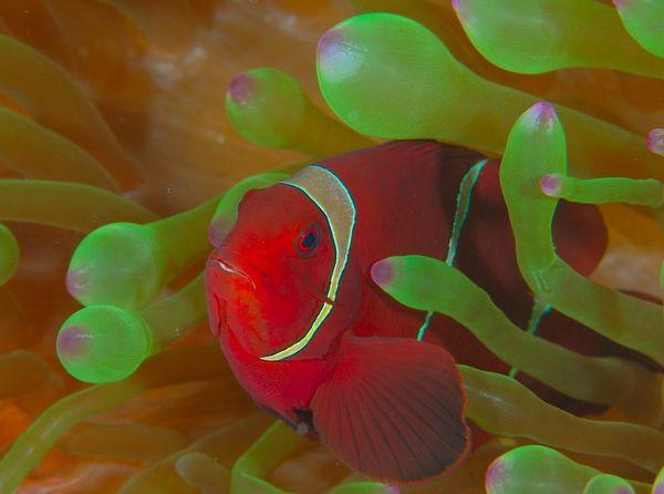 Clownfish, aka Anemone Fish