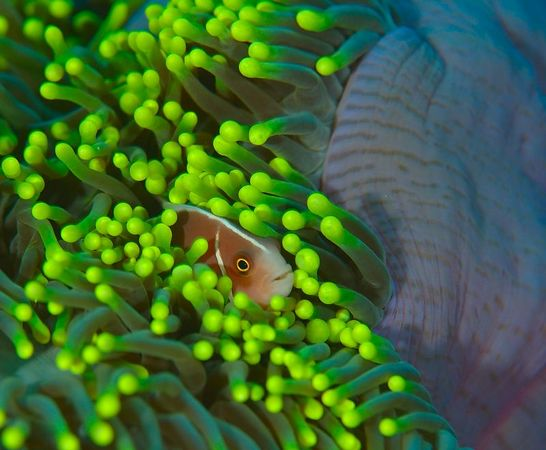 Peek-a-boo pink anemone fish.