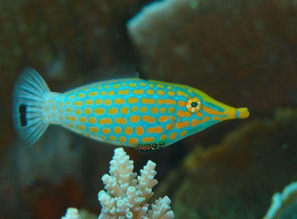Longnose file fish
