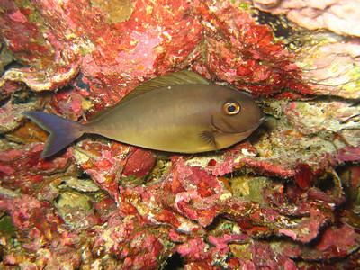 """Juvenile surgeonfish """"Acanthurus sp."""" - AB"""