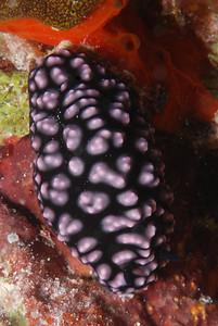 "Pustulose Phyllidiella ""Phyllidiella pustulosa"" -RW"