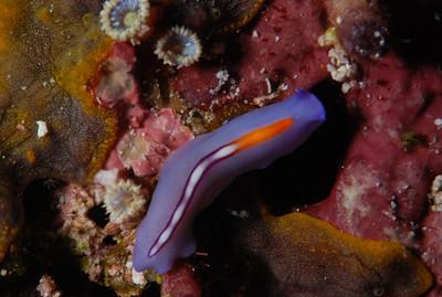 """Polyclad flatworm """"Pseudoceros bifurcus"""" - RW"""