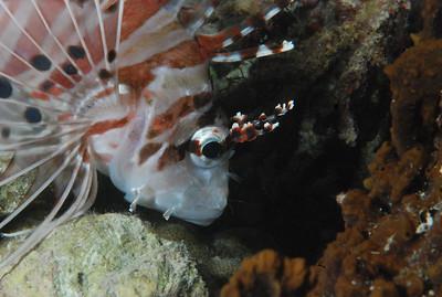 """Spotfin Lionfish """"Pterois antennata"""" - RW"""