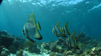 "Round batfish (large juveniles) ""Platax orbicularis"" - GS"