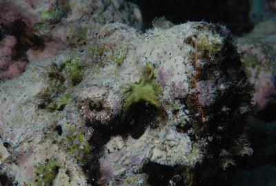 "Devil Scorpionfish ""Scorpaenopsis diabolus"" 2- RW"
