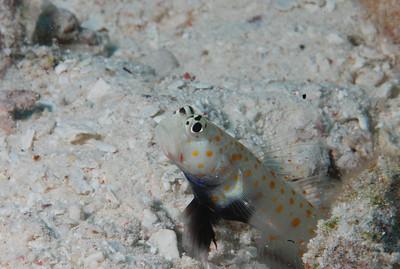 """Spotted Shrimpgoby """"Amblyeleotris guttata"""" - RW"""