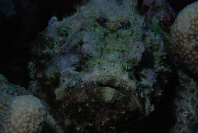 "Devil Scorpionfish ""Scorpaenopsis diabolus"""