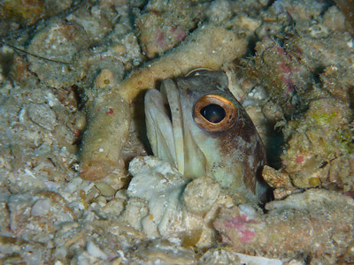 Indonesian jawfish Opistognathus sp.