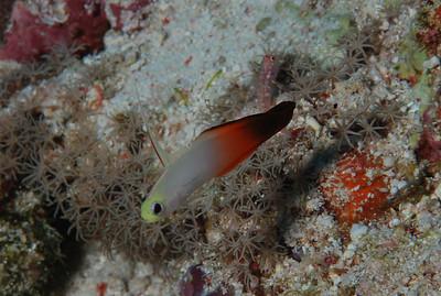 "Fire dartfish ""Nemateleotris magnifica"" with Blue-speckled shrimpgoby ""Cryptocentrus caeruleomaculatus"" - RW"