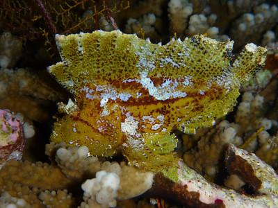 """Leaf Scorpionfish  """"Taenianotus tricanthus"""" - AB"""