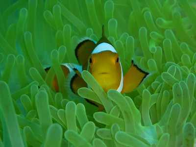 "False Clown Anemonefish ""Amphiprion ocellaris"" - AB"