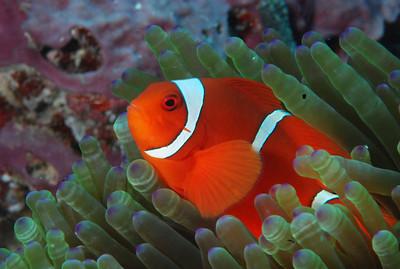 """Spinecheek anemonefish """"Premnas biaculeatus"""" - RW"""