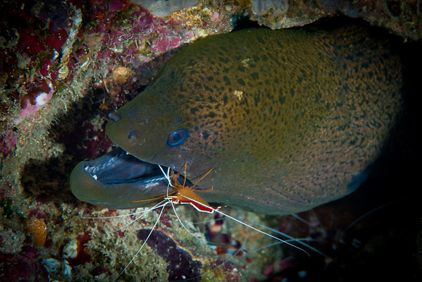 Giant Moray Eel with White-banded Cleaner Shrimp.  A symbiotic relationship provides mutual benefit for both species.  The Moray Eel is cleansed of parasites and dead skin tissue.  The Shrimp gets an easy meal.  The Shrimp also avoids becoming a meal!