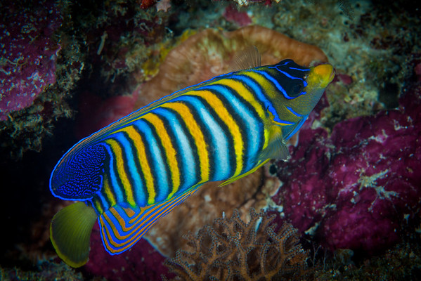 Regal Angelfish.  Native to Indo-Pacific waters.