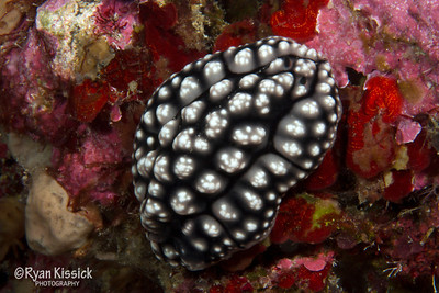 Black and white nudibranch with extremely small rhinophores (the small horn-like protrusions on the front)