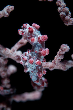 Pygmy Seahorse.  At 1/4 inch the Pygmy Seahorse is extemely difficult to see, let alone photograph.  Muricella sea fans of similar color and texture provide excellent camouflage.  Full frame with 60 mm macro lens.