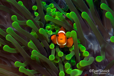 Small false clown anemonefish in a green anemone (note the red eggs in the background)