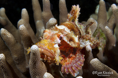 A scorpionfish sits amongst coral, waiting to ambush its next meal