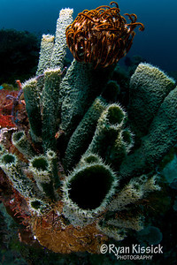 Blue-green sponge with orange crinoid on top