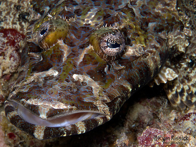 The face of a crocodilefish; note the intricate pattern on both the face and the eye