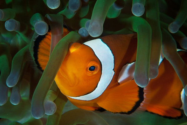 False Clown Anemonefish.  Anemonefish are protected from the stinging cells of their host anemone by a mucous lining on their flesh.  Anemonefish use this to avoid predators, and are typically never found far from their host.