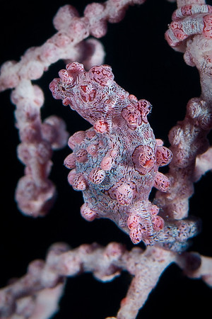 Pygmy Seahorse.  The Pygmy Seahorse is almost impossible to see amid the branches of this sea fan. With its red warts and spots, the Seahorse perfectly mimicks the Muricella sea fan in which it finds refuge. At less than 1 cm, my dive guide had to point to it three times before I could finally see it.