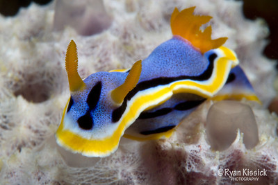 Blue and yellow nudibranch on white sponge