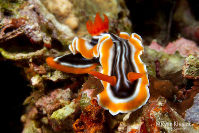 Bright nudibranch crawling across the coral reef