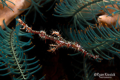 This small creature (less than 4 inches long) is called an Ornate ghost pipefish
