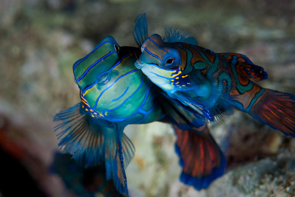 Mating Mandarinfish.  Mandarinfish appear in pairs at dusk for only a very few minutes of mating activity. Magic Pier off the island of Buton delivered magnificent performances on three successive evenings.