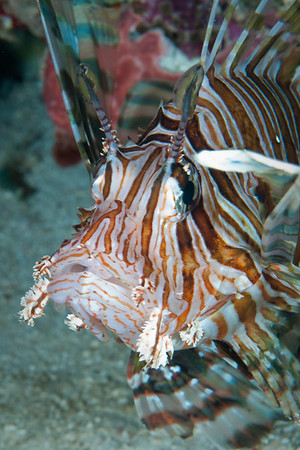 Common Lionfish.  The dorsal and pectoral spines are venomous. A sting is not fatal, but extremely painful.