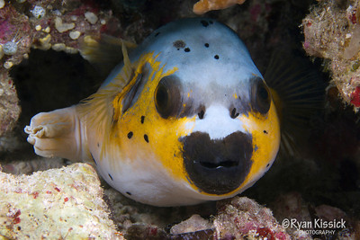 "Not the best swimmer, this pufferfish uses its bright colors and ability to ""puff"" up to ward off potential predators"