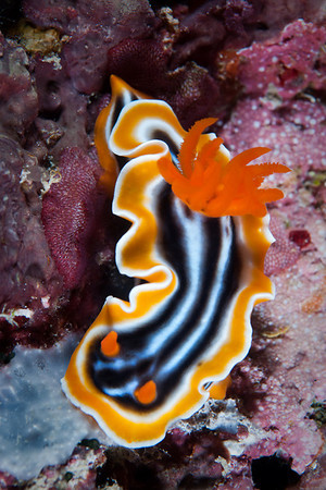 Magnificent Chromodoris. This Dorid Nudibranch is commonly found throughout the Western Pacific.