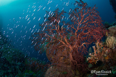 Silversides swimming in front of a large sea fan