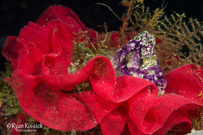 Red nudibranch eggs (notice the individual eggs among the red pattern) form the shape of a flower