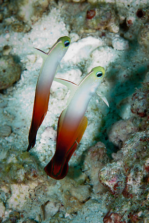 Fire Dartfish.  Fire Dartfish typically hover above burrows in patches of sand and rubble on outer reef slopes.  Common throughout the Indo-Pacific.