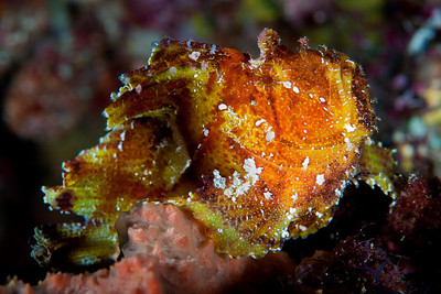 Leaf Scorpionfish.  The Leaf Scorpionfish perches in crevices and on bottoms with living corals, sponges, and debris.  It often sways back and forth with water currents to mimic dead leaves or seaweed.  The Leaf Scorpionfish can vary its color to blend with its background.