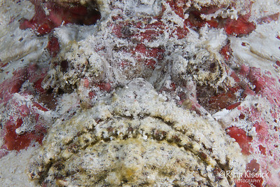 Face of a stonefish, one of the deadliest fish on the planet
