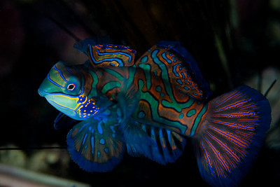 Mandarinfish gather in small groups to shelter in the coral rubble.  They come out of hiding at dusk to spawn. To 6 cm (2 1/4 in), they are common to Indonesia and the Asian Pacific.