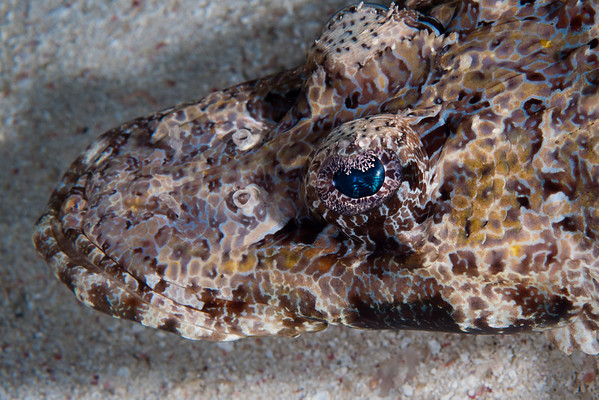 "Crocodilefish.  So named for its crocodile-like snout.  A master of disguise, the Crocodilefish manipulates the pattern and color of its skin to match the sandy rubble bottom.  It is so confident of its camouflage that it will rarely move when approached.  Note the delicate skin flap over the eye that creates an ""eye lid""."
