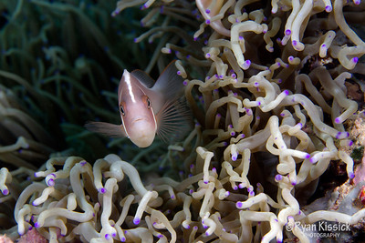 Pink anemonefish in purple-tipped anemone