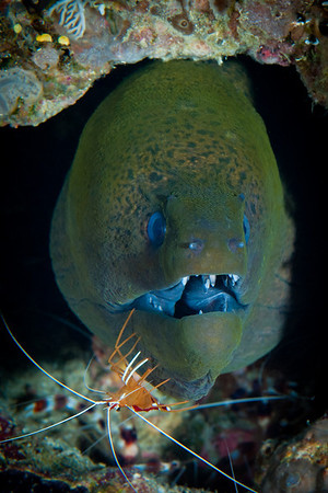 Giant Moray Eel with White-banded Cleaner Shrimp.  The Moray Eel will remain motionless, allowing the Shrimp to remove parasites and dead skin tissue.  The Shrimp gets a free lunch.