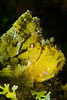 Scorpion Leaf Fish-yellow variation