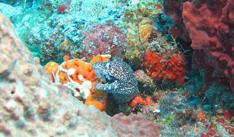 Spotted moray eel.