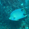 Blue Angle fish.