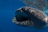 A whale shark (Rhincodon typus) swims with its mouth open to feed during a feeding aggregation off of Isla Mujeres, Mexico