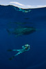 Douglas Seifert photographs whale shark (Rhincodon typus) at a feeding aggregation off of Isla Mujeres, Mexico