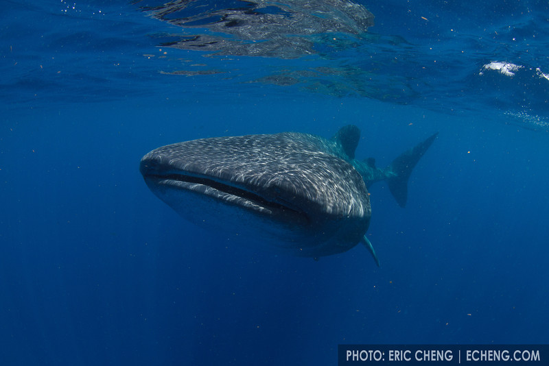 Whale shark (Rhincodon typus) at a feeding aggregation off of Isla Mujeres, Mexico